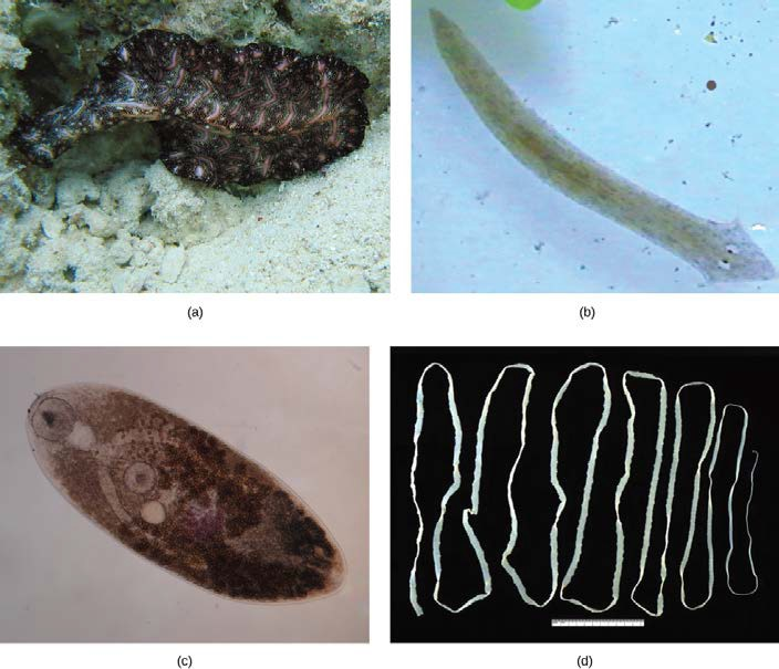 Diversity Of Flatworms Open Textbooks For Hong Kong